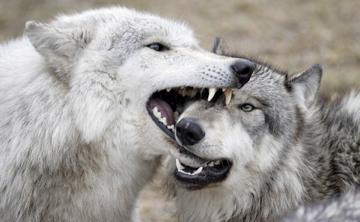 Wolf muzzle grab
